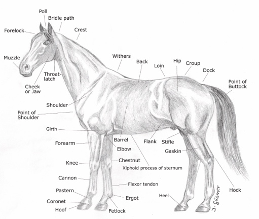 Points of a Horse