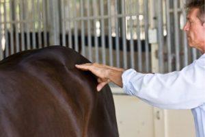 Horses Dorsal Nerves